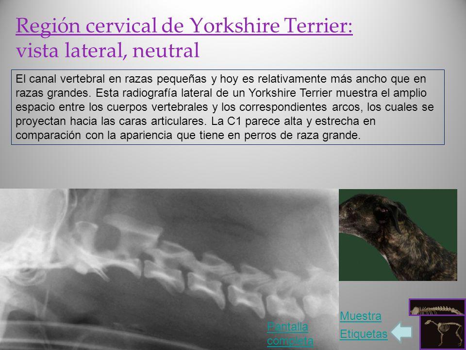 Región cervical de Yorkshire Terrier: vista lateral, neutral El canal vertebral en razas pequeñas y hoy es relativamente más ancho que en razas grande
