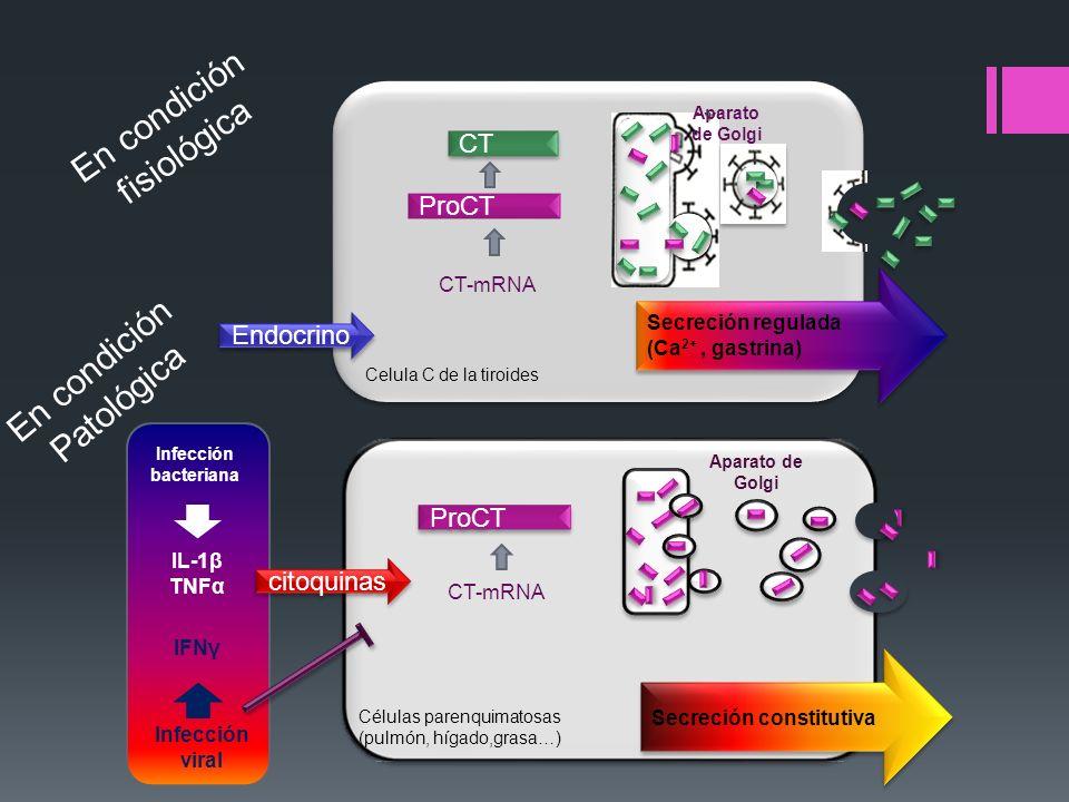 Celula C de la tiroides Secreción regulada (Ca 2+, gastrina) Secreción regulada (Ca 2+, gastrina) ProCT Secreción constitutiva Aparato de Golgi CT CT-