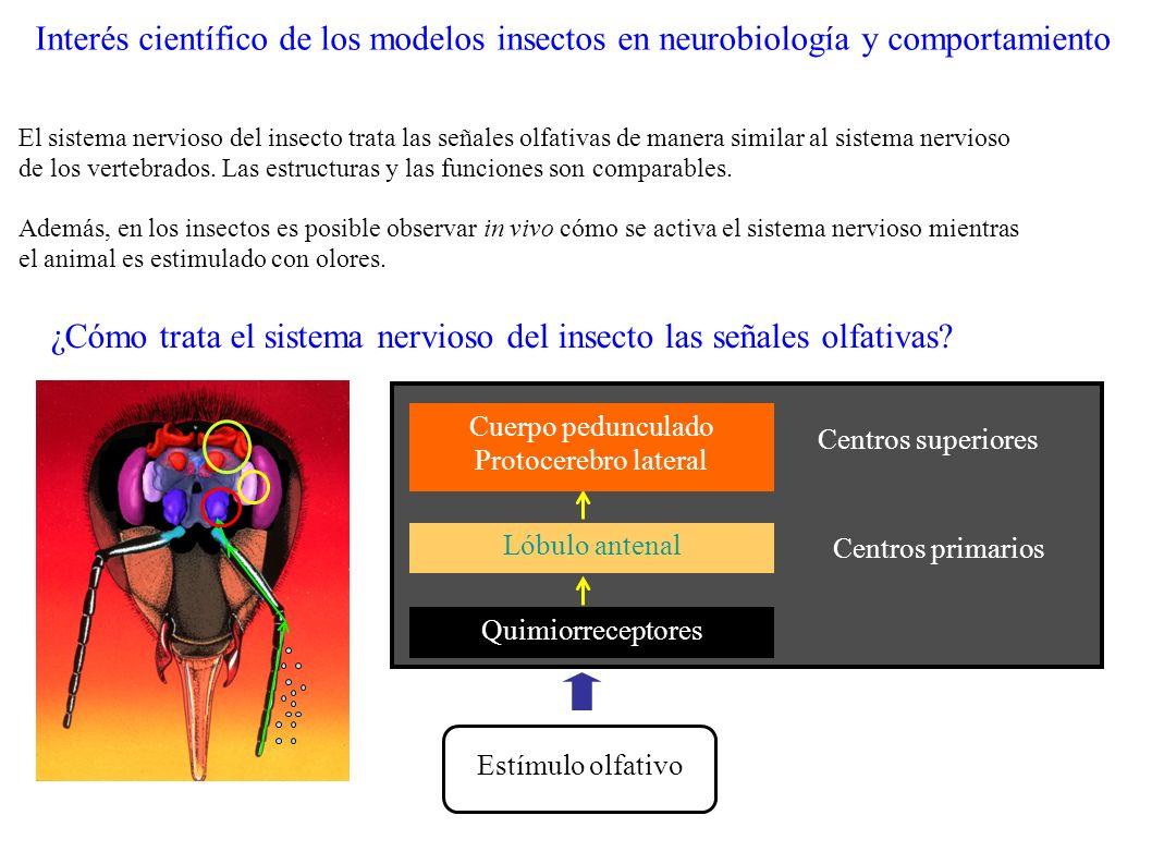 Cuerpo pedunculado Protocerebro lateral Centros superiores Estímulo olfativo Quimiorreceptores Lóbulo antenal Centros primarios ¿Cómo trata el sistema