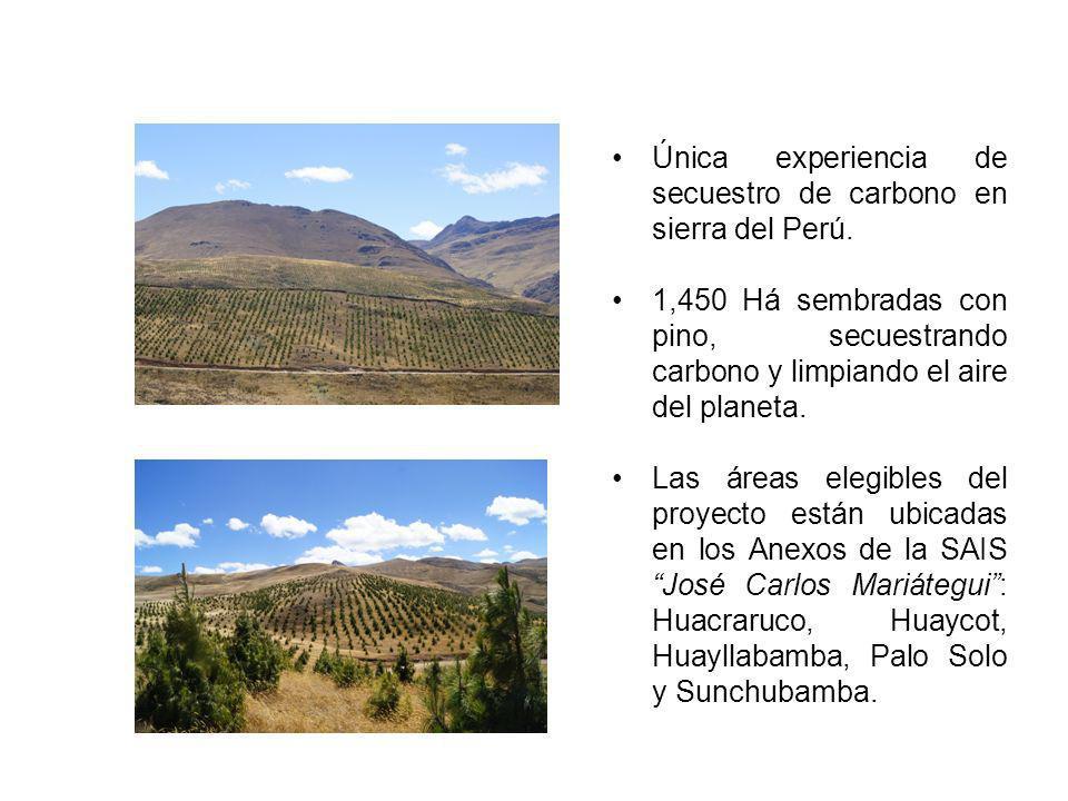 Única experiencia de secuestro de carbono en sierra del Perú. 1,450 Há sembradas con pino, secuestrando carbono y limpiando el aire del planeta. Las á