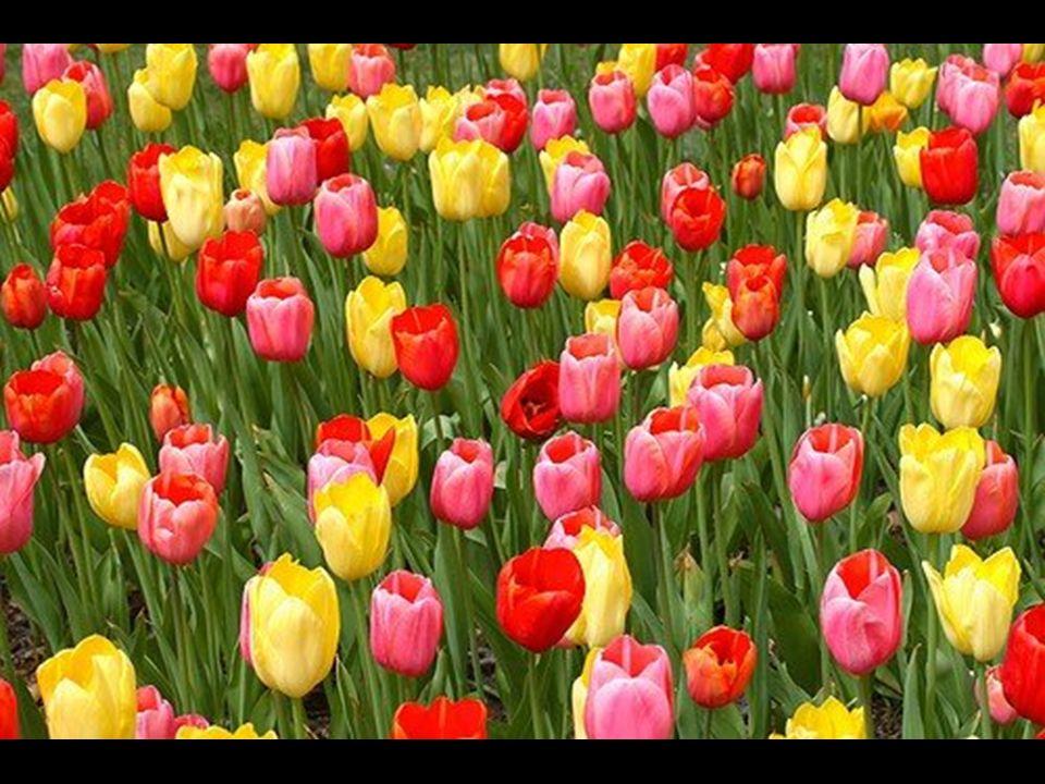 La fiebre del tulipán que casi llevó a Holanda a la quiebra