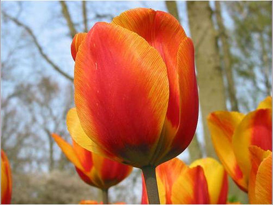 El tulipán comenzó a convertirse en un símbolo de status social, y las habituales flores de un solo color dieron paso a otras de varios colores que aumentaban su rareza y por consiguiente su precio.
