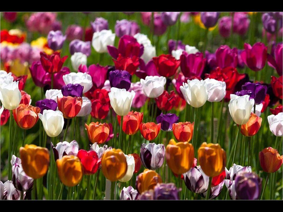 Esta flor creó rápidamente un gran interés entre las clases sociales pudientes, y Carolus cultivó de manera privada variedades exóticas que florecían con facilidad en el arenoso terreno holandés ganado al mar.