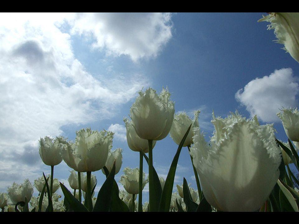 Pero robaron su jardín llevándose varios bulbos y poco a poco el tulipán se esparció por todo el territorio.
