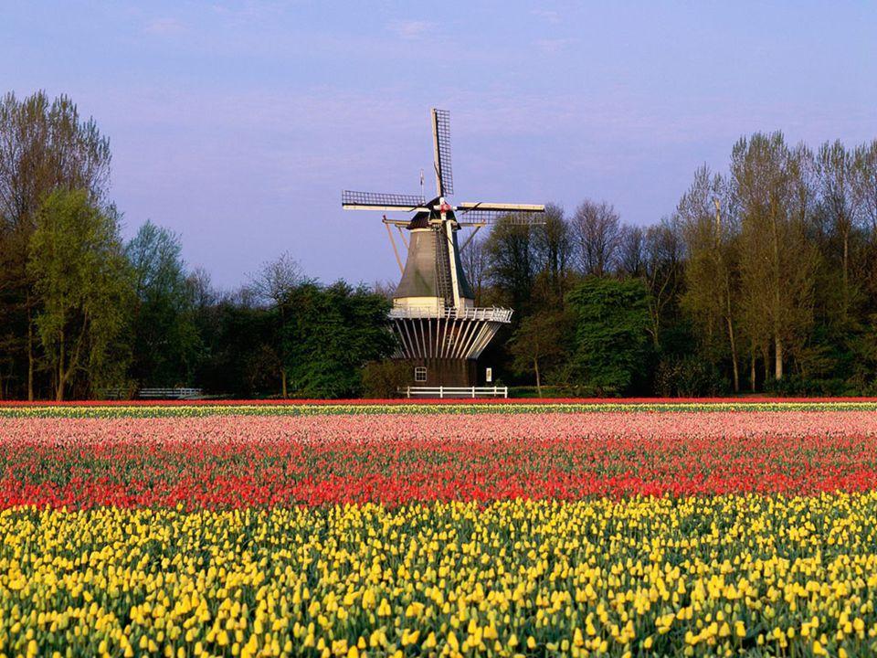 Siempre hemos visto imágenes de los amplios y coloridos campos de tulipanes que pueblan las tierras holandesas …