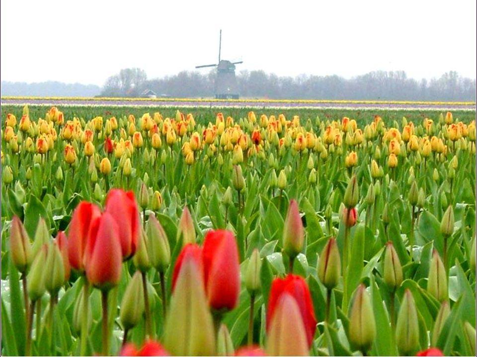 Naturaleza muerta con flores de Hans Bollongier,1639. Muestra el preciado tulipán Semper Augustus