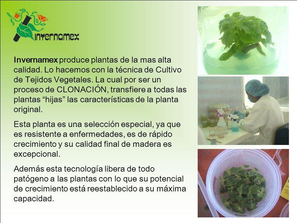 Invernamex produce plantas de la mas alta calidad. Lo hacemos con la técnica de Cultivo de Tejidos Vegetales. La cual por ser un proceso de CLONACIÓN,