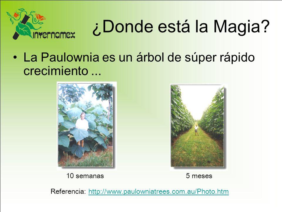 ¿Donde está la Magia? La Paulownia es un árbol de súper rápido crecimiento... 10 semanas5 meses Referencia: http://www.paulowniatrees.com.au/Photo.htm