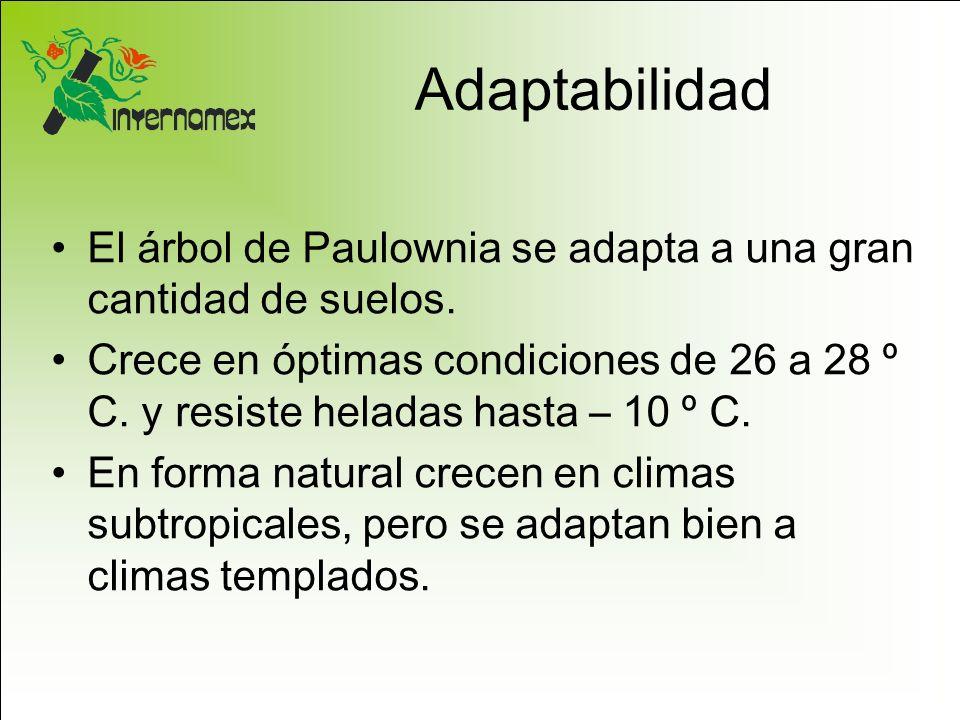 Adaptabilidad El árbol de Paulownia se adapta a una gran cantidad de suelos. Crece en óptimas condiciones de 26 a 28 º C. y resiste heladas hasta – 10
