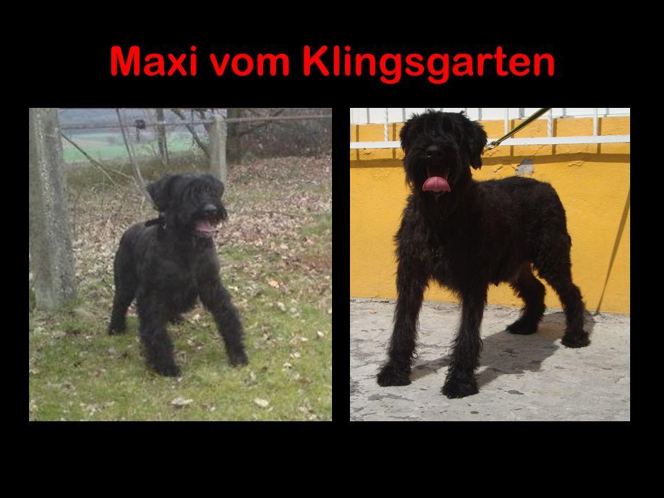 Maxi vom Klingsgarten http://www.working-dog.eu/dogs-details/227375/Maxi-vom-Klingsgarten