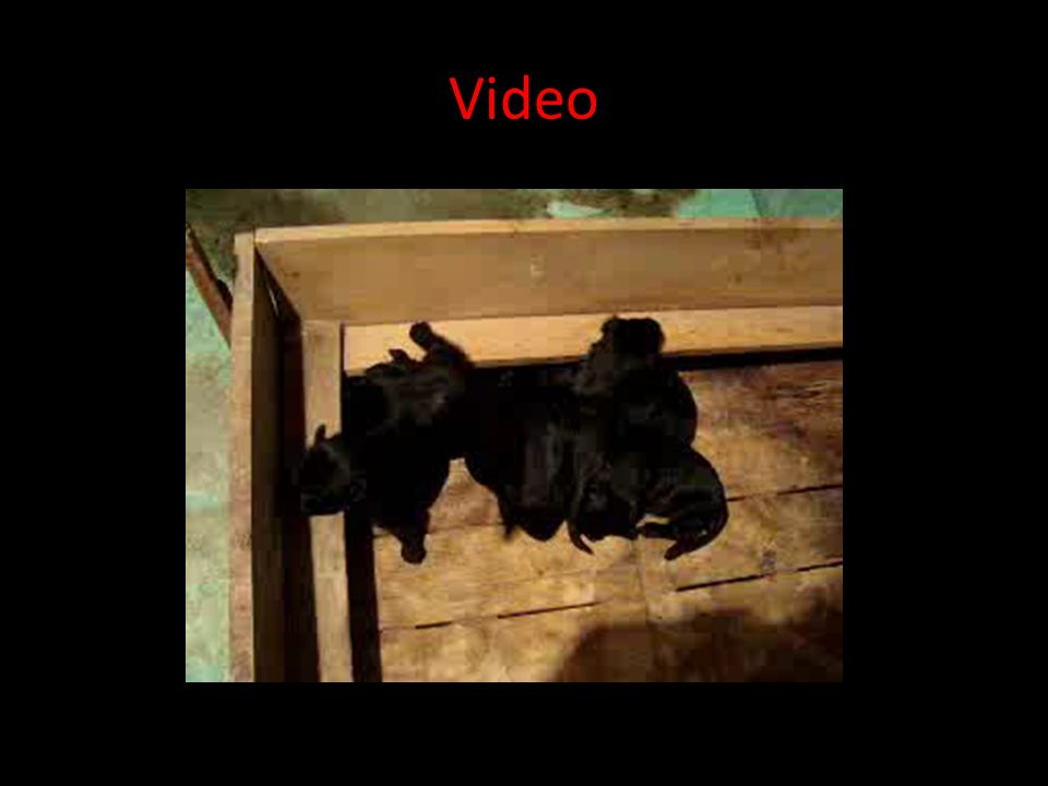 Videos Seguir los siguientes links para ver videos Maxi Pedigree http://www.working-dog.eu/dogs-details/227375/Maxi-vom- Klingsgarten Video http://www
