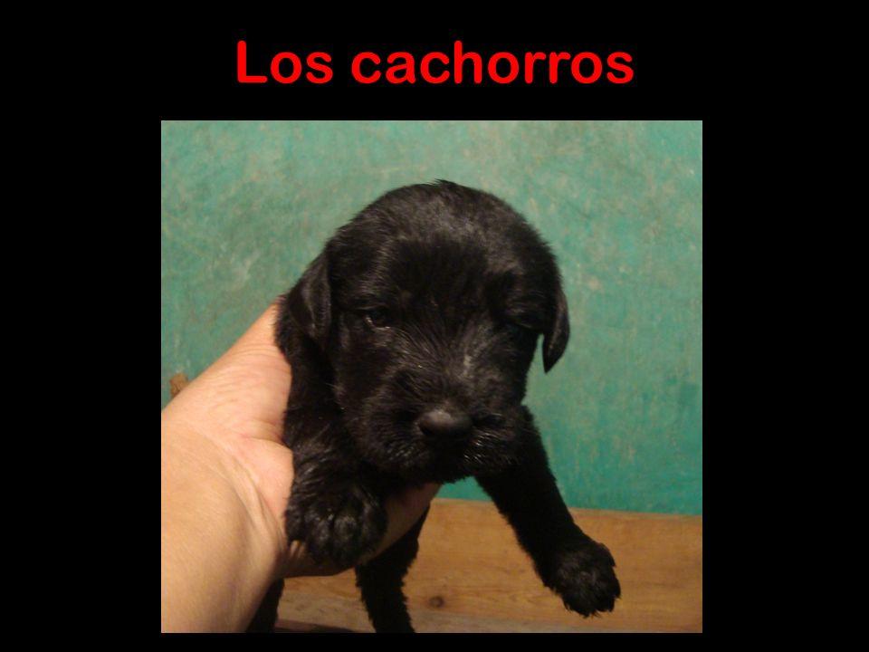 Extraordinaria camada Únicos en México Nacieron 15 de Septiembre de 2010 Disponibles 1 macho y 3 hembras Maxi vom Klingsgarten Nuestra mas reciente ad