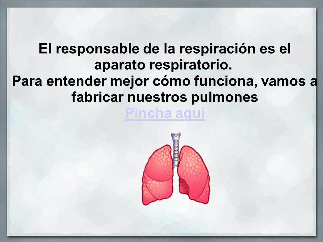 El responsable de la respiración es el aparato respiratorio.