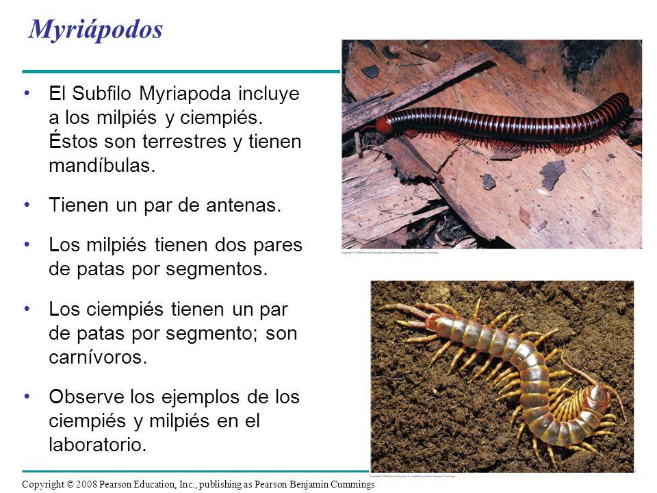 Copyright © 2008 Pearson Education, Inc., publishing as Pearson Benjamin Cummings El Subfilo Myriapoda incluye a los milpiés y ciempiés. Éstos son ter