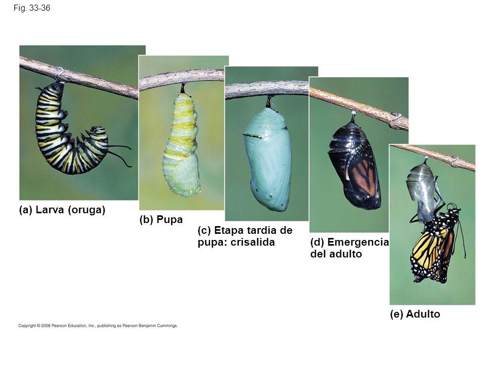 Fig. 33-36 (a) Larva (oruga) (b) Pupa (c) Etapa tardia de pupa: crisalida (d) Emergencia del adulto (e) Adulto