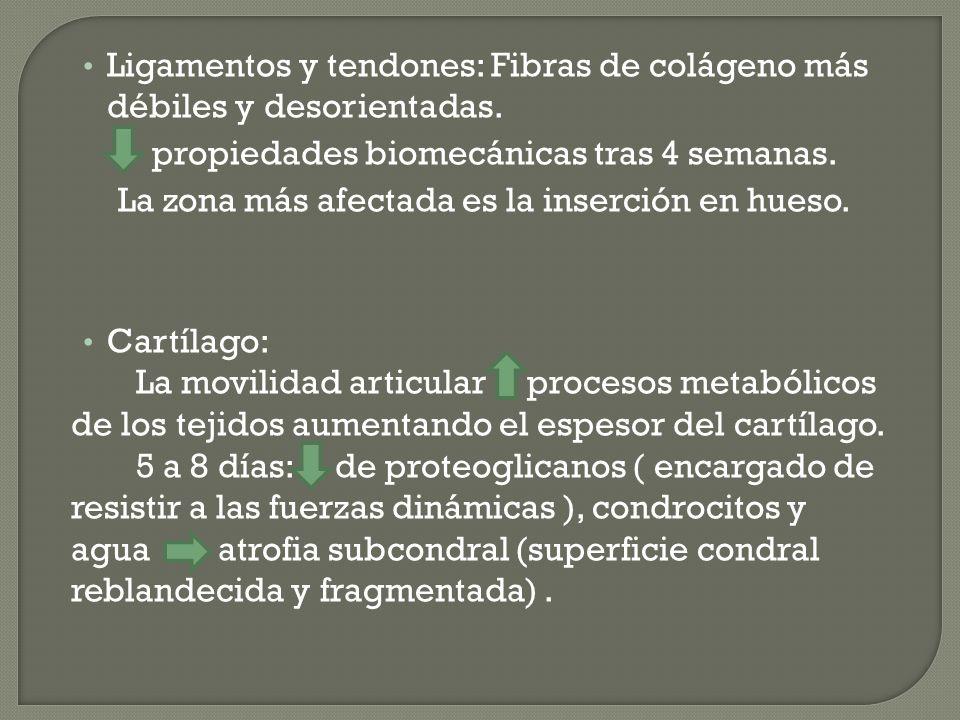 Ligamentos y tendones: Fibras de colágeno más débiles y desorientadas. propiedades biomecánicas tras 4 semanas. La zona más afectada es la inserción e
