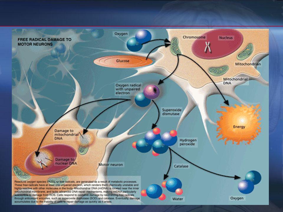 PatogeniaPatogenia Algunos datos sugieren que algunos neurotransmisores citotóxicos, como el glutamato, pueden desempeñar en ELA algún papel en la mue