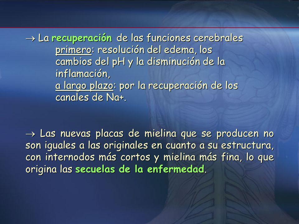 FisiopatologíaFisiopatología En las primeras fases se produce una disminución de la densidad y apertura de los canales de Na+ internodales, Conduce a