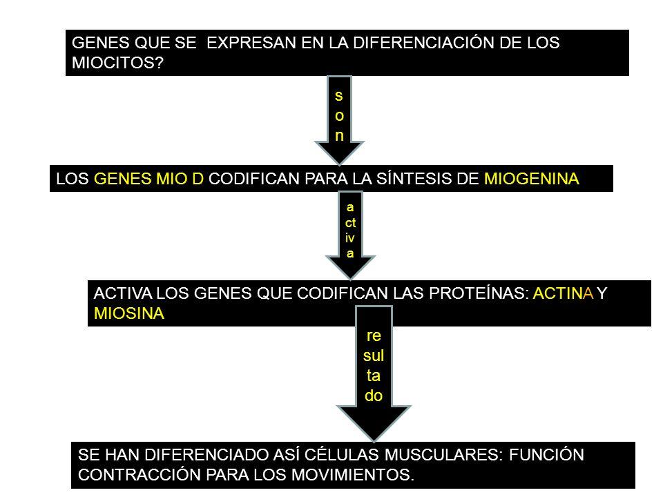 GENES QUE SE EXPRESAN EN LA DIFERENCIACIÓN DE LOS MIOCITOS? LOS GENES MIO D CODIFICAN PARA LA SÍNTESIS DE MIOGENINA ACTIVA LOS GENES QUE CODIFICAN LAS