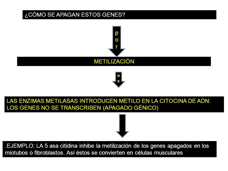 ¿CÓMO SE APAGAN ESTOS GENES? METILIZACIÓN LAS ENZIMAS METILASAS INTRODUCEN METILO EN LA CITOCINA DE ADN: LOS GENES NO SE TRANSCRIBEN (APAGADO GÉNICO).