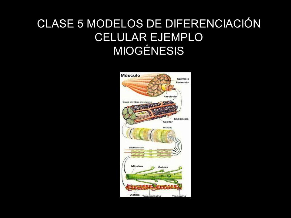 ¿Cómo es que a partir de una célula se generen mas de un ciento de fenotipos celulares diferentes en el organismo.