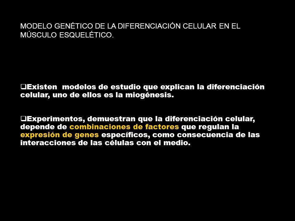 MODELO GENÉTICO DE LA DIFERENCIACIÓN CELULAR EN EL MÚSCULO ESQUELÉTICO. Existen modelos de estudio que explican la diferenciación celular, uno de ello