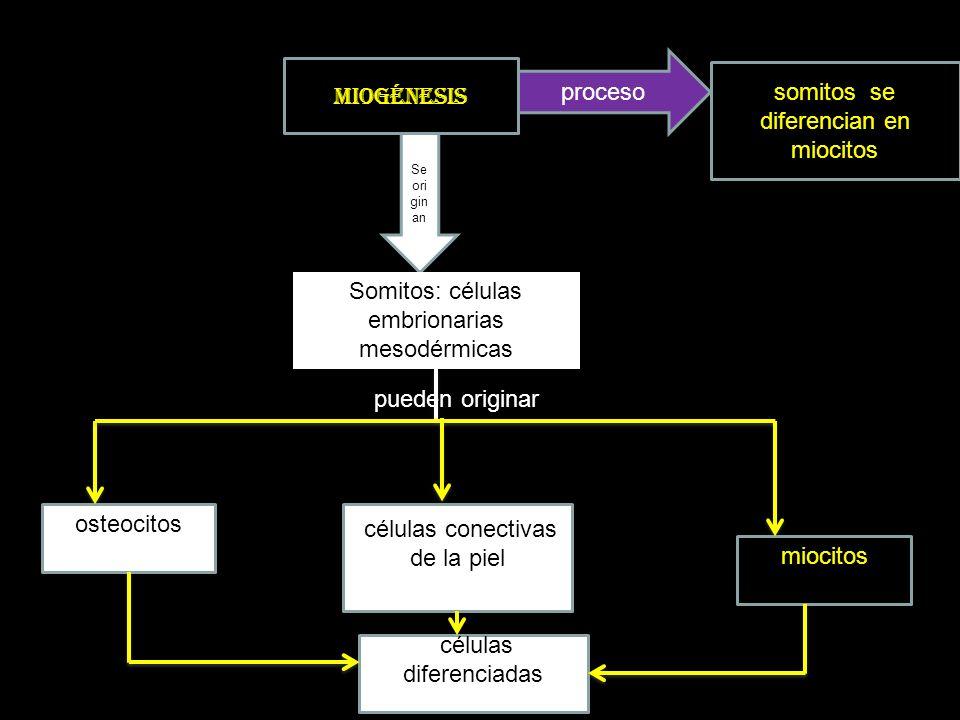 MODELO DE LA DIFERENCIACIÓN DE LOS SOMITOS EN MIOCITOS SOMITOS POR MITOSIS ORIGINAN MIOBLASTOS MIOBLASTOS RECIBEN SEÑALES QUÍMICAS QUE LOS OBLIGAN MIGRAN PARA ORIGINAR MIOCITOS (MÚSCULOS) EN LAS EXTREMIDADES LOS QUE NO MIGRAN ORIGINAR MIOCITOS (MÚSCULOS) EN EL TRONCO migranmigran N o m ig r a n Dejan de dividirse, se fusionan y forman un sincitio por expresión génica diferencial
