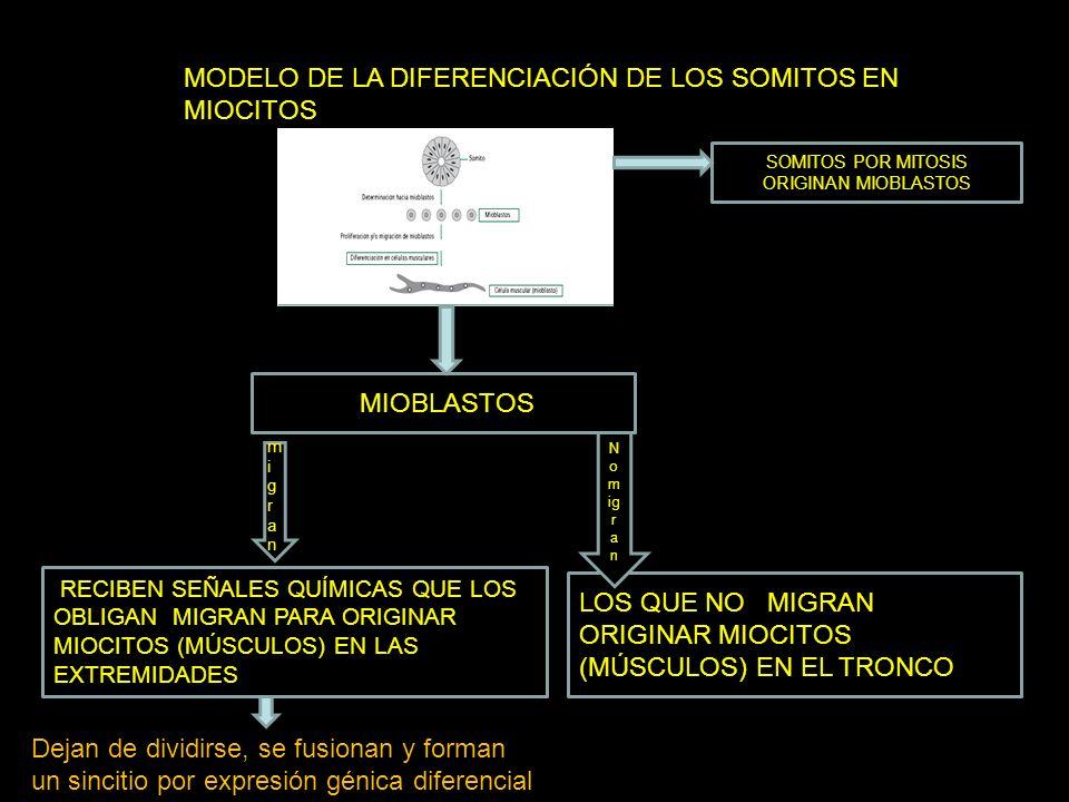 MODELO DE LA DIFERENCIACIÓN DE LOS SOMITOS EN MIOCITOS SOMITOS POR MITOSIS ORIGINAN MIOBLASTOS MIOBLASTOS RECIBEN SEÑALES QUÍMICAS QUE LOS OBLIGAN MIG