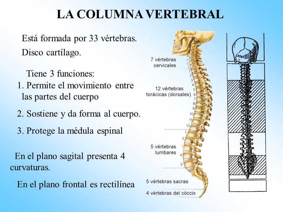 LA COLUMNA VERTEBRAL Está formada por 33 vértebras.