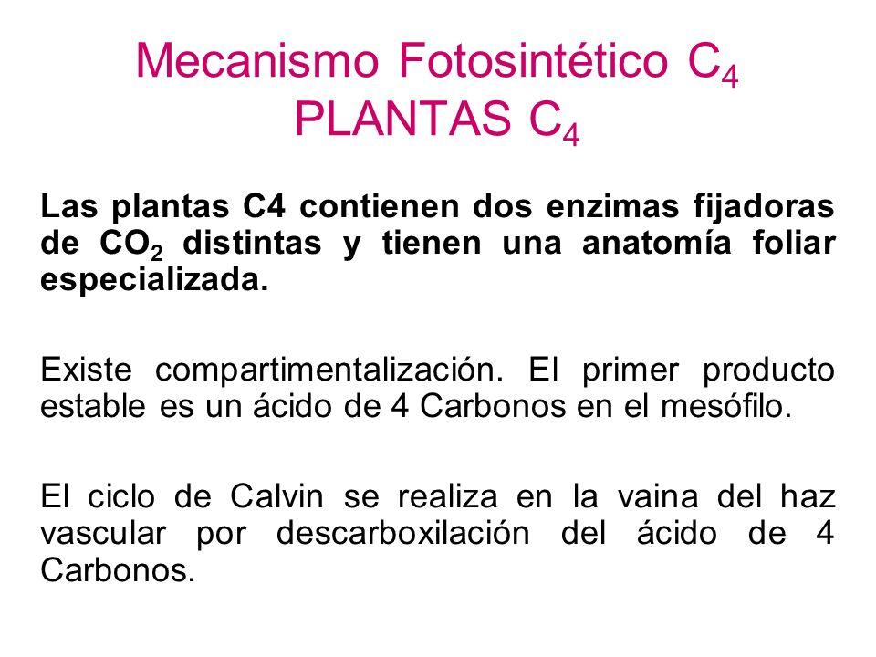Hoja de planta típica con fotosíntesis C3 Epidermis adaxial Parénquima en empalizada Haz vascular Parénquima esponjoso Epidermis abaxial estoma La may