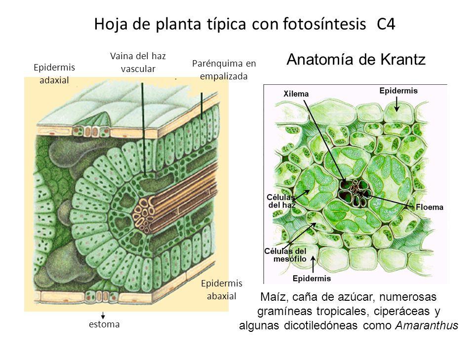 Mecanismo Fotosintético C 4 PLANTAS C 4 Las plantas C4 contienen dos enzimas fijadoras de CO 2 distintas y tienen una anatomía foliar especializada. E