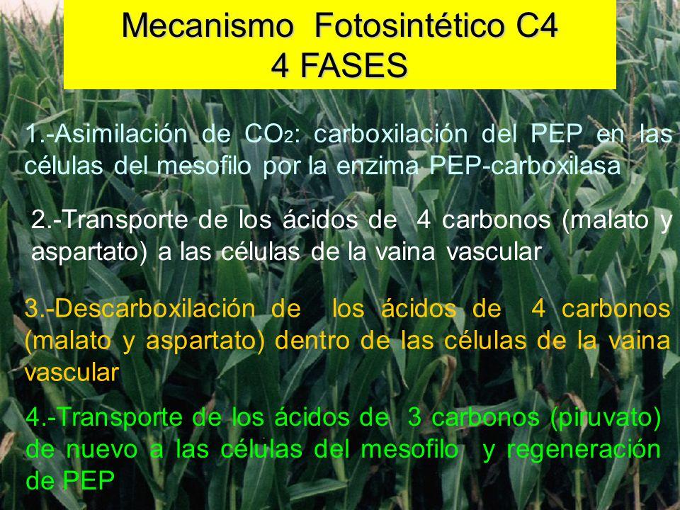 DISTRIBUCION DE LAS ENZIMAS CARBOXILANTES EN HOJAS C4 DISTRIBUCION DE LAS ENZIMAS CARBOXILANTES EN HOJAS C4