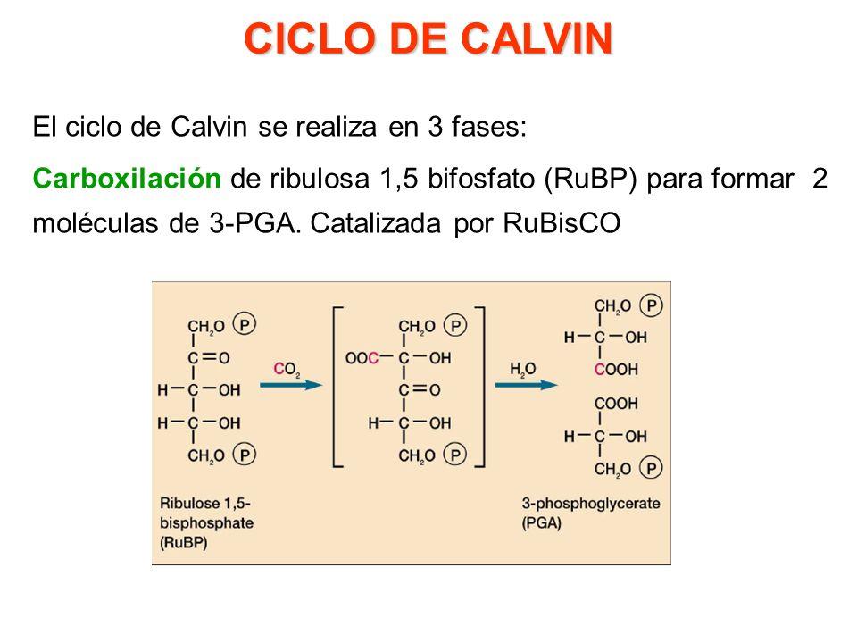 VARIACIONES EN EL MECANISMO DE FIJACIÓN DE CO 2 Profa. Dayana Pérez Semestre II-2009 Abril de 2010 Plantas C3, C4 y MAC Síntesis de Sacarosa y Almidón