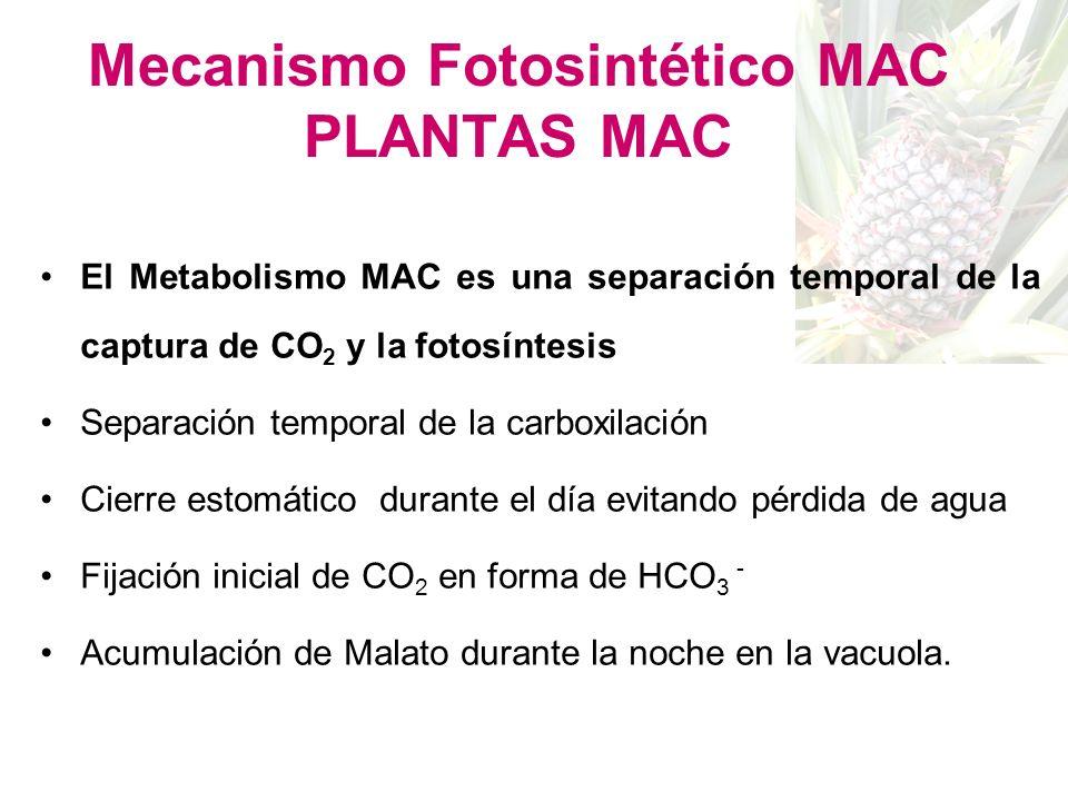 Plantas MAC Bromelia Sabila Crassula Orquidea Piña Portulaca Kalanchoe