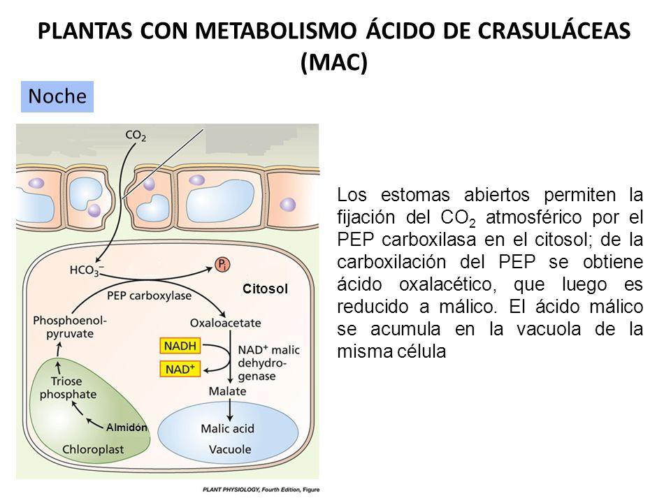 Mecanismo Fotosintético MAC PLANTAS MAC El Metabolismo MAC es una separación temporal de la captura de CO 2 y la fotosíntesis Separación temporal de l