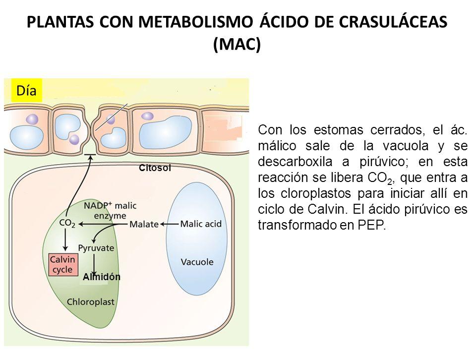 Noche Los estomas abiertos permiten la fijación del CO 2 atmosférico por el PEP carboxilasa en el citosol; de la carboxilación del PEP se obtiene ácid