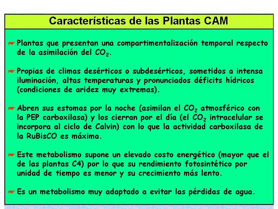 OSCURIDAD (Noche) CO 2 LUZ (Día) Asimilación del CO 2 atmosférico a través de los estomas: acidificación oscura Descarboxilación del malato; almacenad