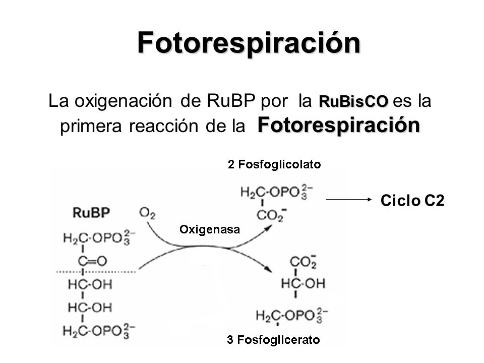 Carboxilasa 2 (3PGA) RuBisCO Ciclo de Calvin La Carboxilación de la RuBP por la RuBisCO es la primera reacción del Ciclo de Calvin