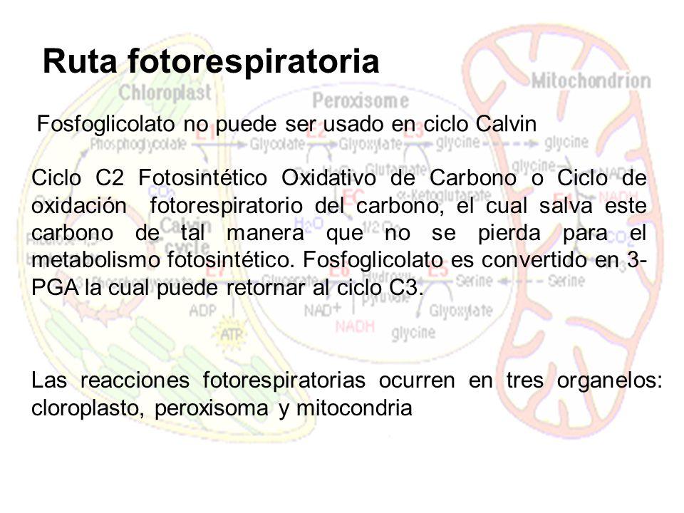 RuBisCO Fotorespiración La oxigenación de RuBP por la RuBisCO es la primera reacción de la Fotorespiración Ciclo C2 Fotorespiración