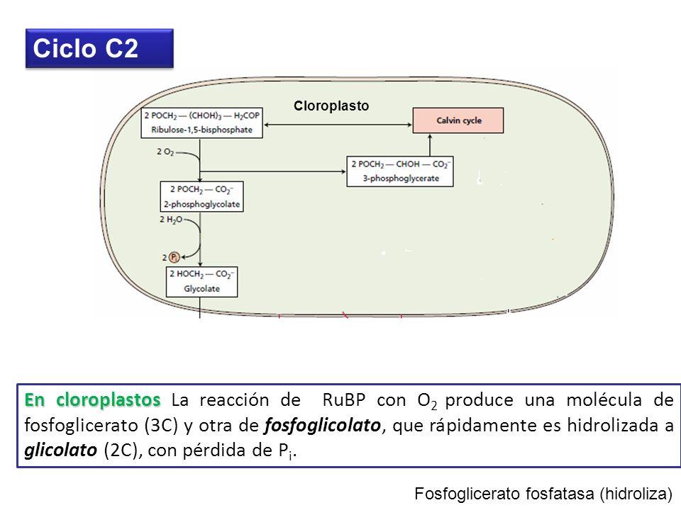 Ruta fotorespiratoria Fosfoglicolato no puede ser usado en ciclo Calvin Ciclo C2 Fotosintético Oxidativo de Carbono o Ciclo de oxidación fotorespirato