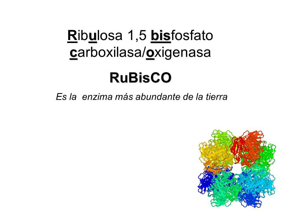 El ciclo de Calvin se realiza en 3 fases: Carboxilación de ribulosa 1,5 bifosfato (RuBP) para formar 2 moléculas de 3-PGA. Catalizada por RuBisCO CICL