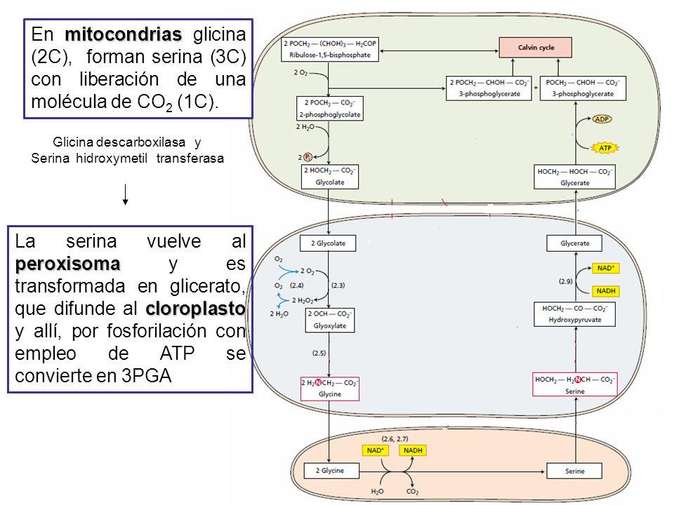 Cloroplasto Peroxisoma peroxisoma El glicolato sale del cloroplasto y entra al peroxisoma Glicolato reacciona con O 2 para producir glioxilato y H 2 O