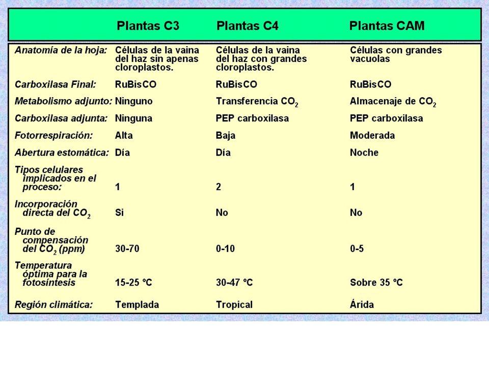mitocondrias En mitocondrias glicina (2C), forman serina (3C) con liberación de una molécula de CO 2 (1C). peroxisoma cloroplasto La serina vuelve al