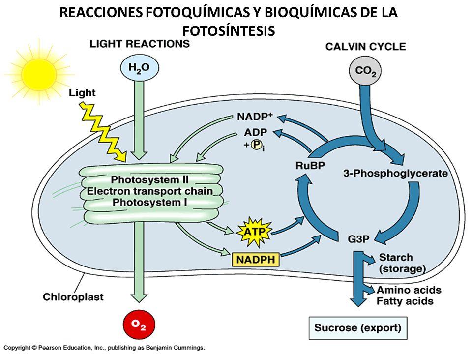 1. Las reacciones del ciclo de Calvin durante el proceso de fotosíntesis ocurren en_______ y produce ___________: a. el citoplasma, ATP y piruvato b.