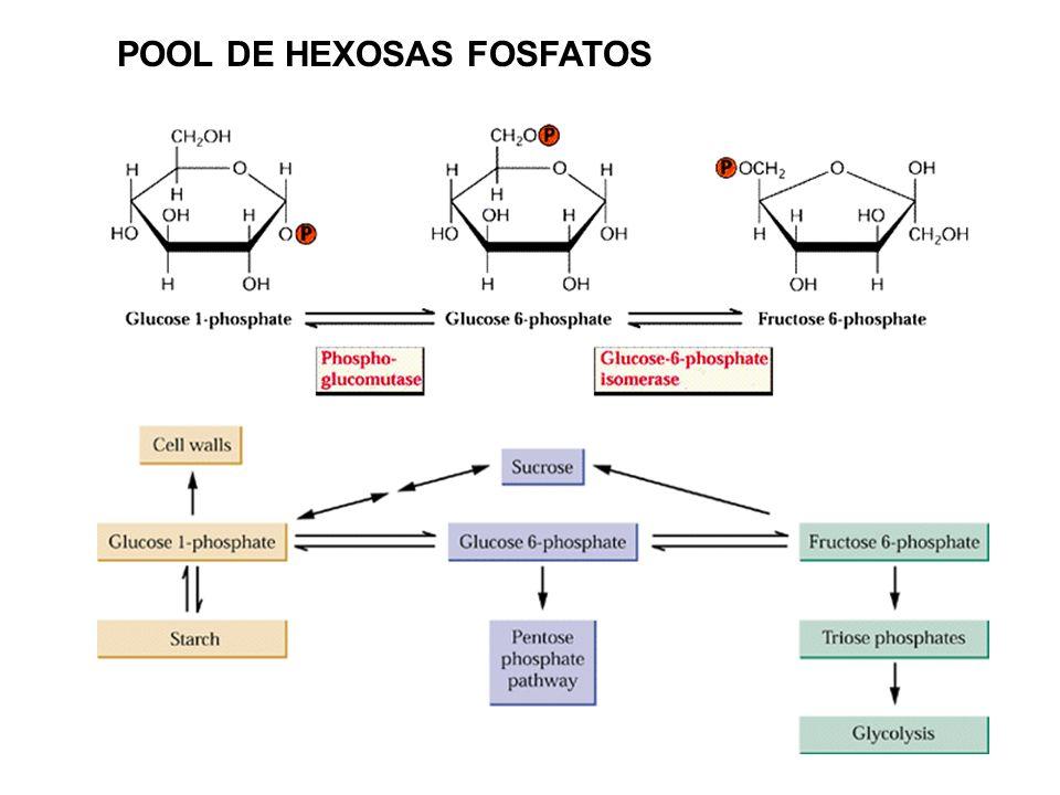 Las reacciones de luz de la FS pueden convertir 3 PGA en triosa-fosfatos y cuando éstas no pueden ser exportadas al citosol, son convertidas a fructos