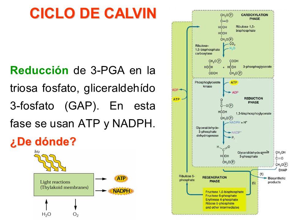 ubis co Ribulosa 1,5 bisfosfato carboxilasa/oxigenasaRuBisCO Es la enzima más abundante de la tierra