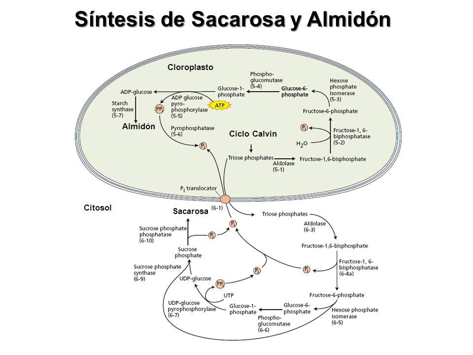 Sacarosa es sintetizada en el citosol SacarosaCitosol Las triosas-fosfato se exportan al citosol, mediante un transportador de la membrana de cloropla