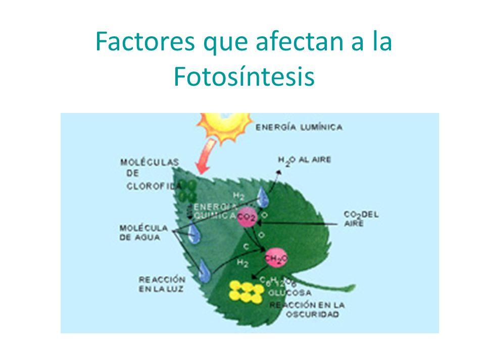 Síntesis de Sacarosa y Almidón Cloroplasto Almidón Ciclo Calvin Sacarosa Citosol