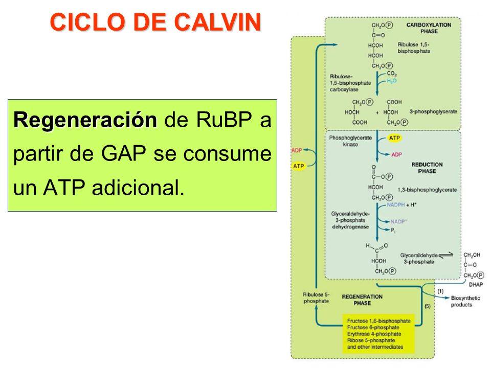 ¿De dónde? Reducción de 3-PGA en la triosa fosfato, gliceraldehído 3-fosfato (GAP). En esta fase se usan ATP y NADPH. ¿De dónde? CICLO DE CALVIN