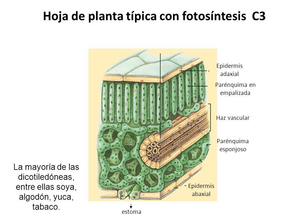 Mecanismo Fotosintético C 3 PLANTAS C 3 En plantas C 3 la fijación fotosintética del carbono es catalizada por la RuBisCO y el primer producto estable